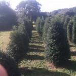 English Yew