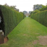 English Yew trees shaped to a formal hedge